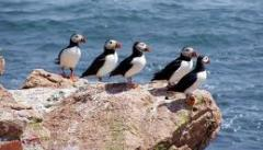 Puffins in Maine