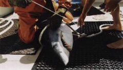 Tagging and releasing 400 lb. Mako Shark