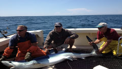 Huge Blue Shark